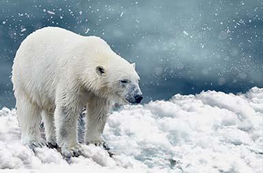 Eisbären am Nordpol
